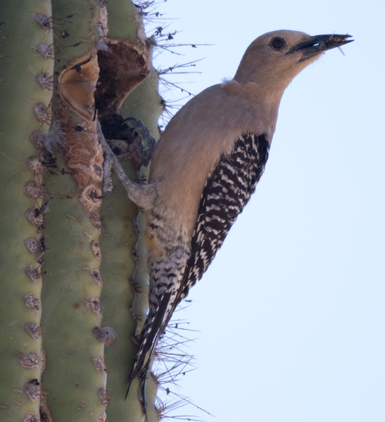 Gila Woodpecker Arizona 2016 04 29-5.CR2