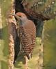 A Gila Woodpecker taken Jan 30, 2010 in Phoenix, AZ.