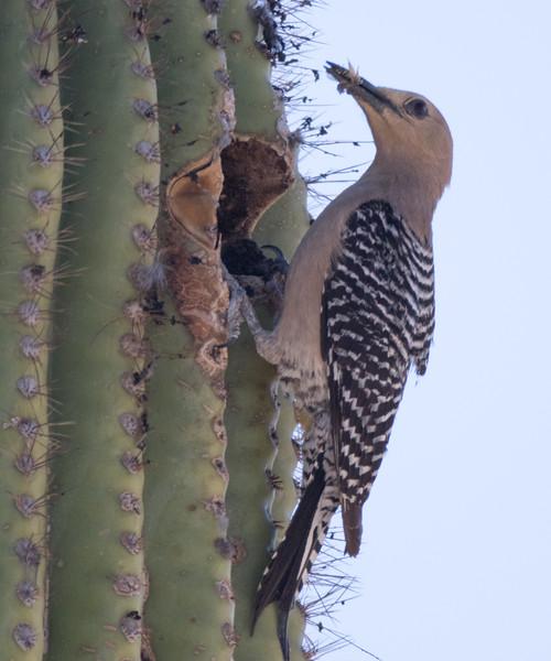 Gila Woodpecker Arizona 2016 04 29-1.CR2