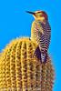 A Gila Woodpecker taken Feb. 9, 2012 in Tucson, AZ.