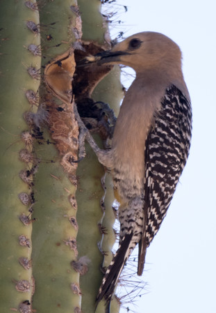 Gila Woodpecker Arizona 2016 04 29-6.CR2