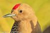 A Gila Woodpecker taken Feb. 6, 2012 in  Tucson, AZ.