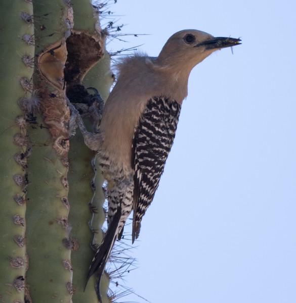 Gila Woodpecker Arizona 2016 04 29-2.CR2