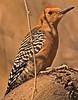 A Gila Woodpecker taken Feb 18, 2010 in Superior, AZ.
