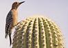 A Gila Woodpecker taken Feb 7, 2010 in Tuscon, AZ.