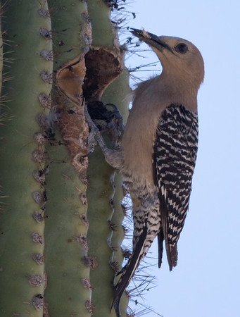 Gila Woodpecker Arizona 2016 04 29-3.CR2