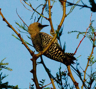 Gila Woodpecker  Ash Canyon Arizona 2011 08 20-1.CR2