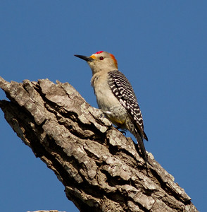 Golden-fronted Woodpecker  Santa Ana NWR Texas 2012 03 22-2522.CR2