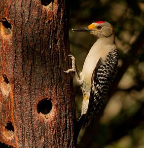 Golden-fronted Woodpecker Santa Ana NWR Texas 2012 03 22-2569.CR2