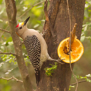 Golden-fronted Woodpecker  South Texas 2012 03 20-2300.CR2
