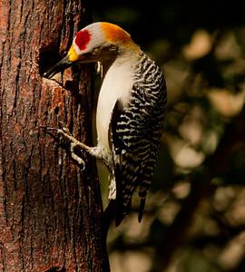 Golden-fronted Woodpecker Santa Ana NWR Texas 2012 03 22-2570.CR2