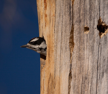 Hairy Woodpecker  Mammoth Lakes 2010 07 19 (1 of 9).CR2