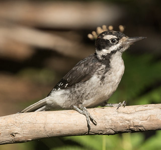 Hairy Woodpecker Bend Oregon 2017 08 19-2.CR2