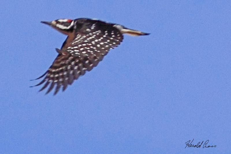 A Hairy Woodpecker taken Apr 10, 2010 near Fruita, CO.
