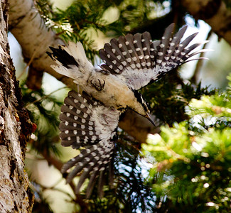 Hairy Woodpecker  Mammoth Lakes 2013 07 19 (1 of 1).CR2