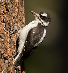 Hairy Woodpecker Mammoth Lakes 2015 07 28-3.CR2
