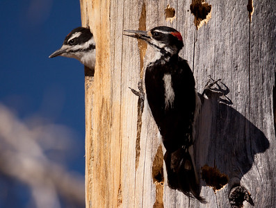 Hairy Woodpecker  Mammoth Lakes 2010 07 19 (9 of 9).CR2