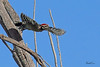 A Ladder-backed Woodpecker taken Oct 4, 2010 near Fort Sumner, NM.