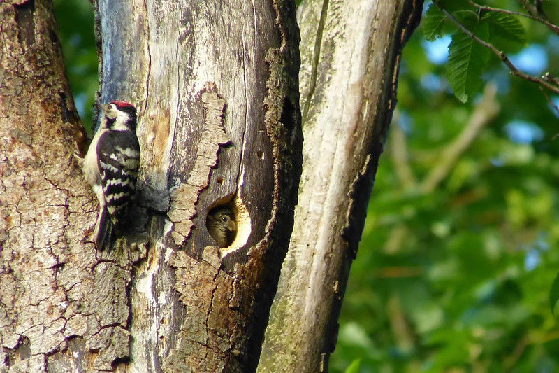 Lesser Spotted Woodpecker (Dendrocopos minor) [male & nestling], undisclosed site, 04/06/2012. The male had just brought some food and was heading up the tree to search for more.
