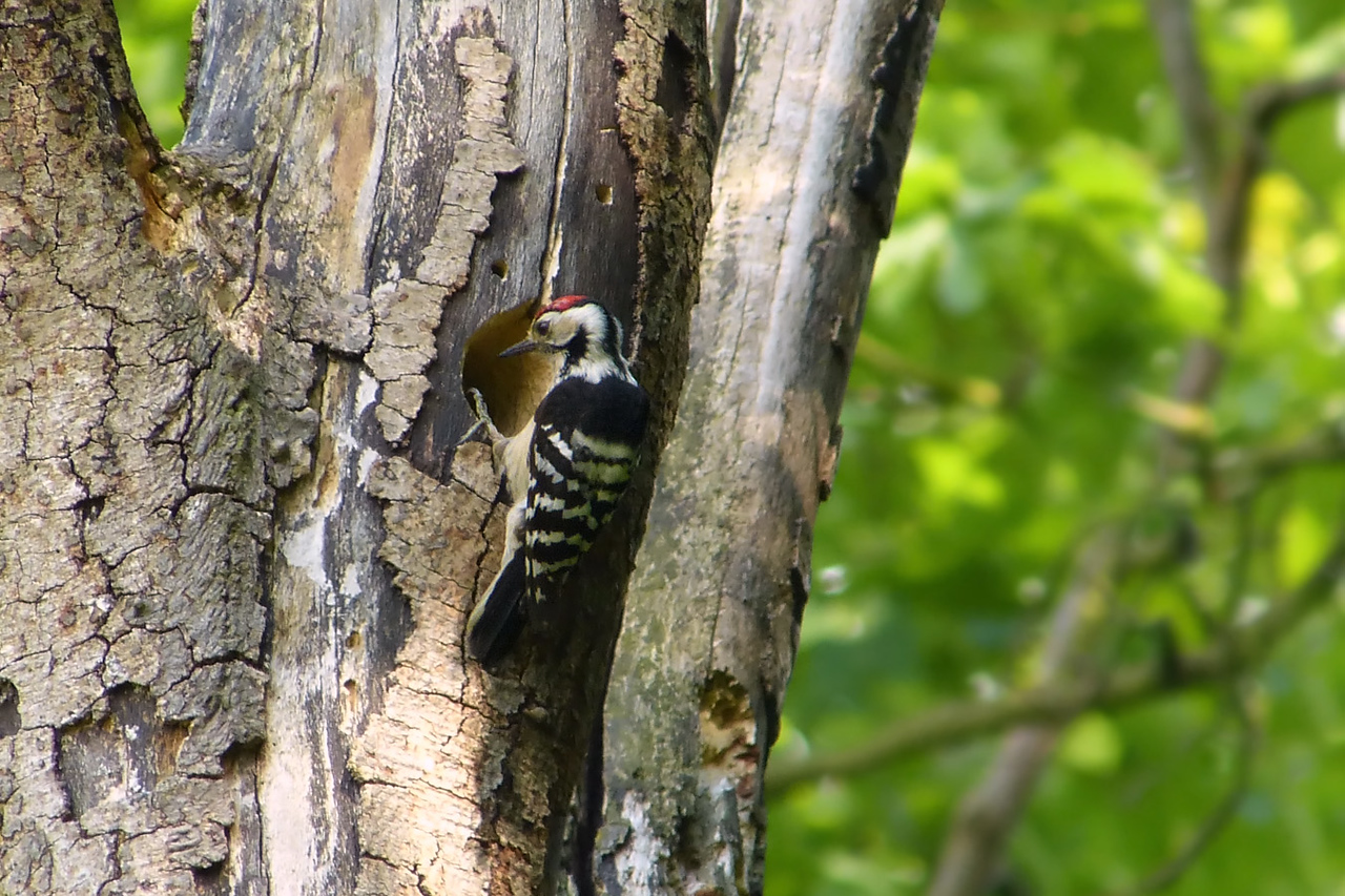 Lesser Spotted Woodpecker (Dendrocopos minor) [male], undisclosed site, 28/05/2012. Back at the site today after 6 weeks. The pair produced eggs, which have recently hatched. Here, the male had just brought food to the noisy nestlings. Even I could hear them from where I was standing!