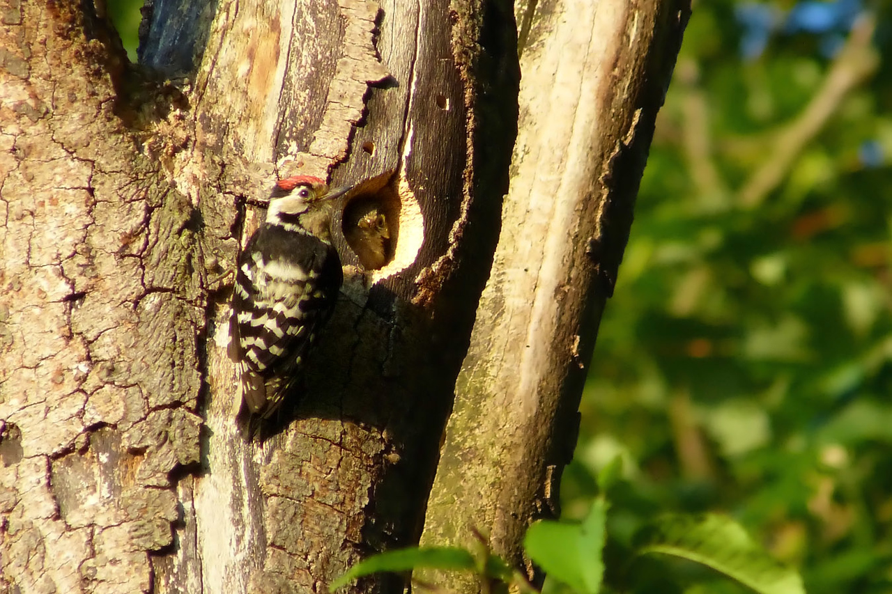 Lesser Spotted Woodpecker (Dendrocopos minor) [male & nestling], undisclosed site, 04/06/2012.