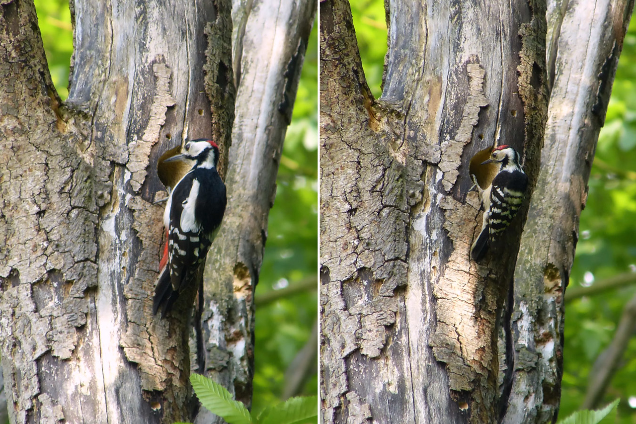 Great Spotted Woodpecker (left) (Dendrocopos major) & Lesser Spotted Woodpecker (Dendrocopos minor) (right) [males], undisclosed site, 28/05/2012. At one point whilst watching the male LSW come back and forth with food for the nestlings, this male Great Spotted Woodpecker took a good, long look into the hole. Thankfully, he left the young birds alone - I expect they were too large for him to take as food. The difference in size of the two Woodpeckers is obvious (GSW can be almost twice the size of LSW [GSW L23-26 cm; LSW L14-16.5 cm]).