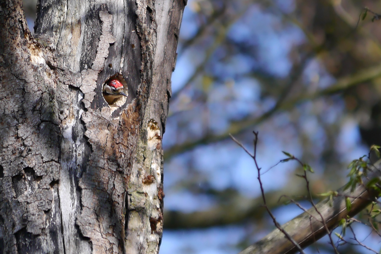 Lesser Spotted Woodpecker (Dendrocopos minor) [male], undisclosed site, 17/04/2012. Trying out the new house for size.