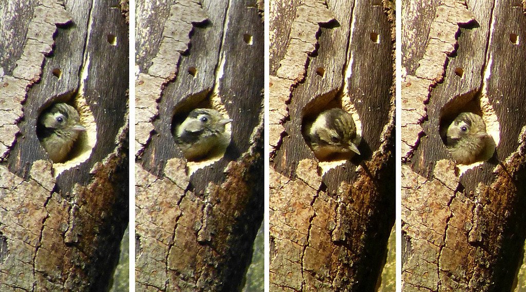 Lesser Spotted Woodpecker (Dendrocopos minor) [nestling], undisclosed site, 04/06/2012. A composite of shots of the youngster. At the time, I couldn't tell how many were in the nest but later discovered that only one youngster fledged so this is him/her!