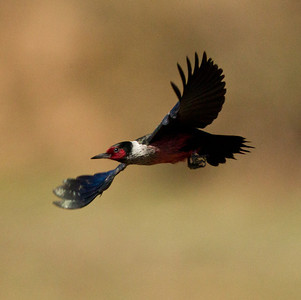 Lewis`s Woodpecker  Pamo Valley 2014 02 08-3.CR2
