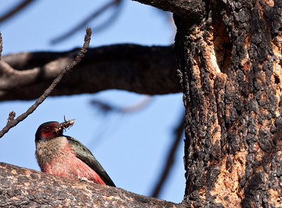 Lewis`s Woodpecker June Lake  Ca  2010 06 23-4.CR2