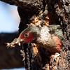 Lewis Woodpecker June Lake burn area 06 23 10