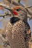 A Northern Flicker taken April 16, 2011 in Grand Junction, CO.