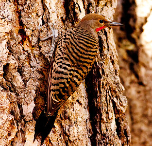 Northern Flicker Mammoth Lakes 2009 07 21 (1 of 7).CR2