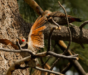 Northern Flicker  Mammoth Lakes 2011 07 29-1.CR2