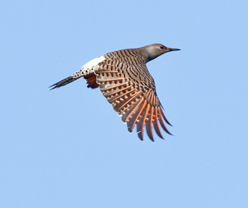 Northern Flicker Rosacruitain Fellowship Oceanside 2013 10 31-1.CR2