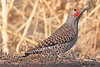 A Northern Flicker  taken Mar 14, 2010 in Grand Junction, CO.