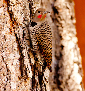 Northern Flicker Mammoth Lakes 2009 07 21 (4 of 7).CR2