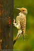 A Northern Flicker (Yellow Shafted subspecies) taken Oct. 3, 2011 in Grand Junction, CO.
