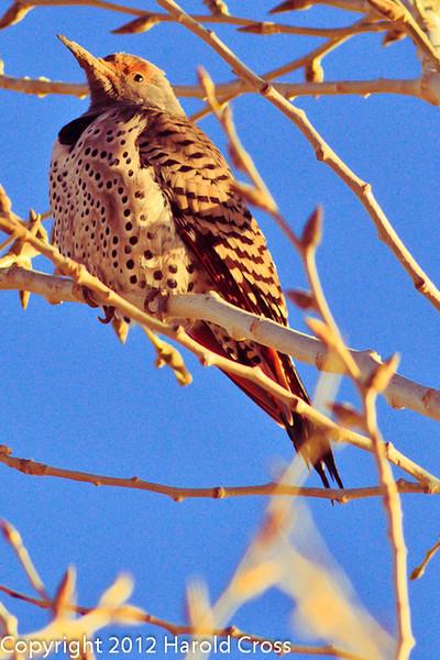 A Northern Flicker taken Jan. 17, 2012 in Fruita, CO.