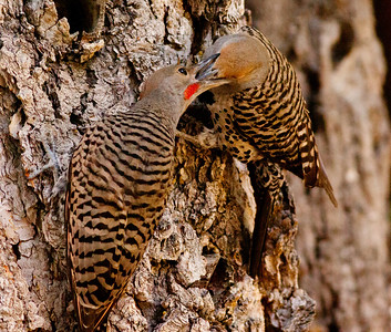 Northern Flicker Mammoth Lakes 2009 07 21 (7 of 7).CR2
