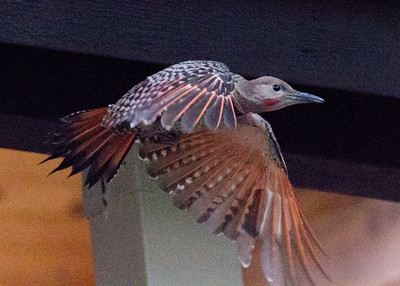 Northern Flicker  Mammoth Lakes 2011 07 29-3.CR2