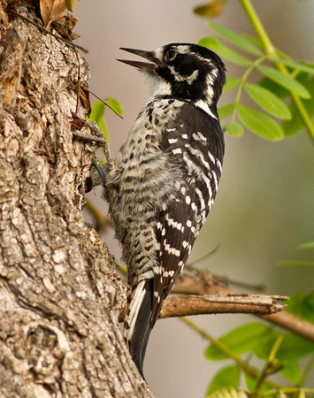 Nuttal`s Woodpecker  Leucadia 2013 09 22-2.CR2