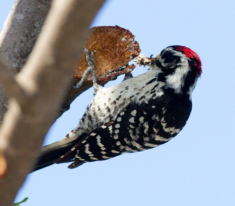 Nuttall`s Woodpecker Carlsbad  2011 05 10-4.CR2 (1 of 4).CR2
