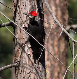 Piliated Woodpecker Yosemite NP 2014 09 19 (3 of 3).CR2