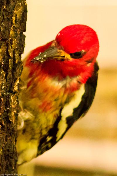 A Red-breasted Sapsucker taken June 16, 2011 near Bridgeville, CA.