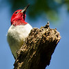 Red-headed Woodpecker, Albany Pine Bush, 8-16-13