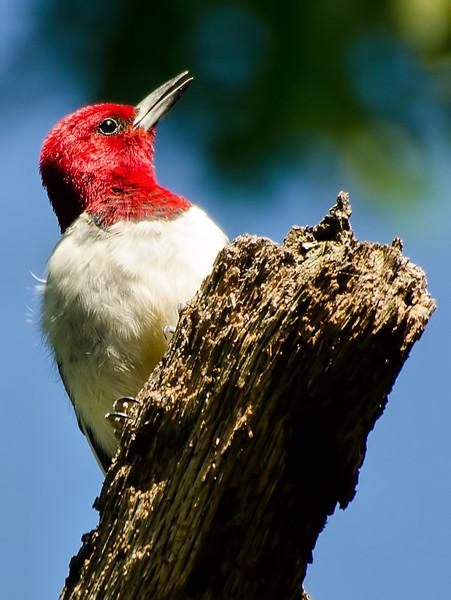 Red-headed Woodpecker, Albany Pine Bush, 8-1`6-13