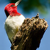 Red-headed Woodpecker, Albany Pine Bush, 8-1`6-13