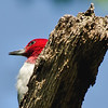 Red-headed Woodpecker, Albany Pinebush, 8-16-13