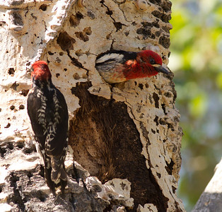 Red-naped Sapsucker Hybrid  Red-breasted Sapsucker Lee Vining Canyon  2011 06 16-1-2-2.CR2 (2 of 3).CR2
